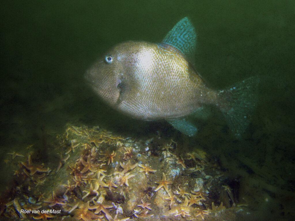 Atlantische Trekkervis (Foto: Roel van der Mast)