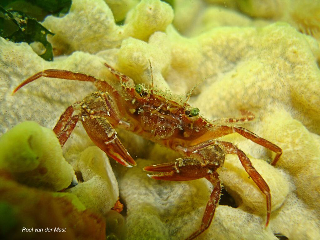 Gewimperde krab (Foto: Roel van der Mast)