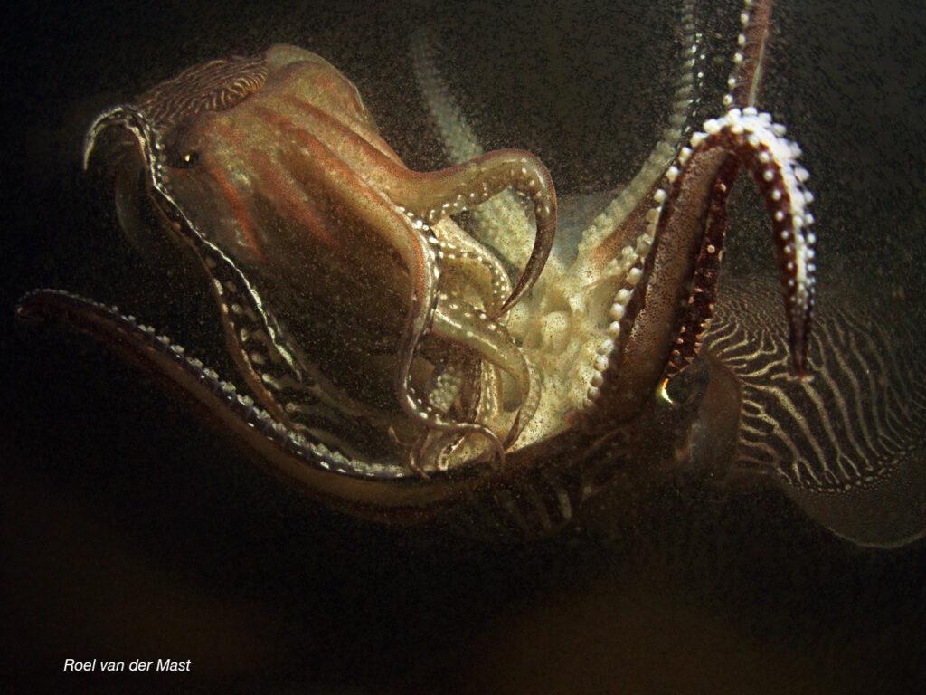 Parende sepia's (Foto: Roel van der Mast)