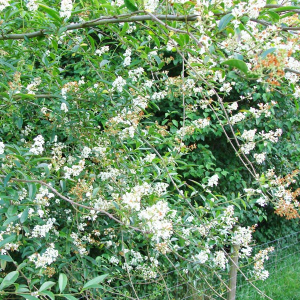 Wilde liguster (Ligustrum vulgare)