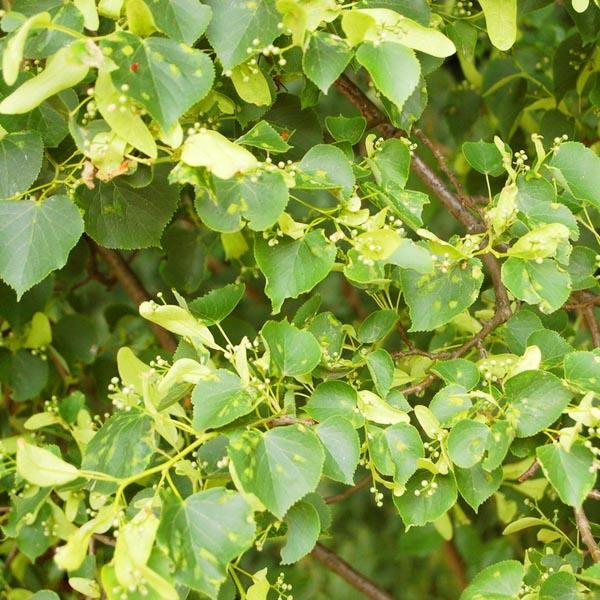 (Winter)Linde (Tilia cordata)