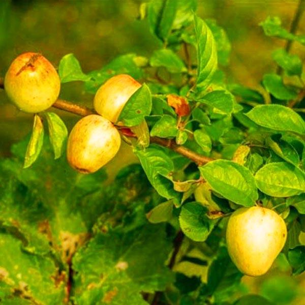 Wilde appel (Malus sylvestris)